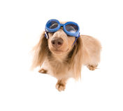 Goggle dog Royalty Free Stock Photos