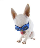Goggle dog Stock Photography