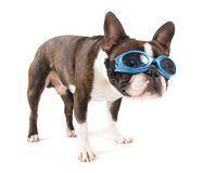 Goggle dog Royalty Free Stock Images
