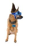 Goggle dog Stock Photography