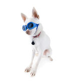Goggle dog Stock Image
