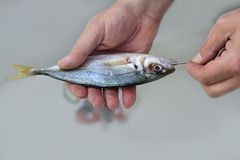 Goggle eye mackerel live bait fish hook tackle Royalty Free Stock Photography