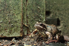 Goggle-eyed Toad Stock Images