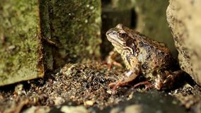 Goggle-eyed Toad stock video