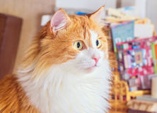 Goggle red cat Stock Photography