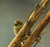GoGold Finch sitting on milkweed stems in the winter. Winter time birch tree Pine Siskin stock photos
