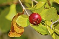 Goiaba de morango brasileira madura Foto de Stock