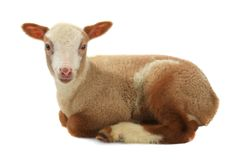 Going baby sheep on a white