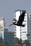 Going home. A bird flying over Santa Monica beach, Los Angeles Royalty Free Stock Photography