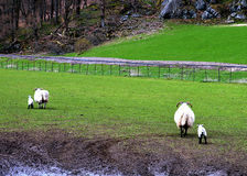 Going home with Mama: blackface sheep, Perthshire, Scotland Royalty Free Stock Photography