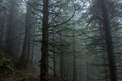 Going through the mist. Misty forest on a slope of Carpathians Royalty Free Stock Image