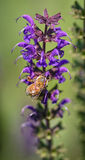 Going For the Nectar. Bee getting the sweet nectar from a purple flower Royalty Free Stock Image
