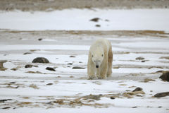 Going polar bear. stock photography