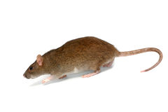 Going rat Royalty Free Stock Image