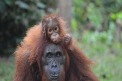 Going for a ride. A baby orangutan clings on to her mother as she is carried through the rainforest Stock Image