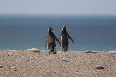 Going for a swim. A pair of Magellanic Penguins (Spheniscus magellanicus) at Punta Tombo, Argentina, heading for the sea royalty free stock image