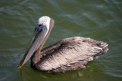 Going for a swim. Pelican swiming in Johns Pass. Madeira Beach Florida royalty free stock images