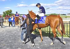 Going to the Post - Gallant Bob Stakes. Threefiveindia going to the post for the Gallant Bob stakes. Led by his trainer and handler, ThreefiveIndia, a beautiful royalty free stock image