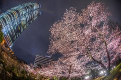 A going to see cherry blossoms at night and Roppongi Hills Mori garden. Shooting location :  Tokyo metropolitan area royalty free stock photos