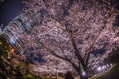 A going to see cherry blossoms at night and Roppongi Hills Mori garden. Shooting location :  Tokyo metropolitan area royalty free stock image