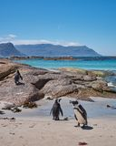Boulders Bay Penguins stock photography