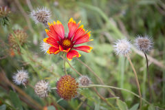 Going to seed. Garden with flower doing to seed Stock Photography