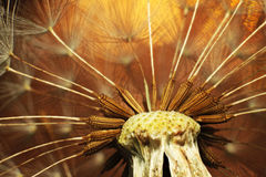 Going to seed. Extreme close-up of a dandelion going to seed Stock Photo