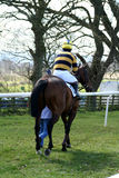 Going to the start. Point to point horse and rider heading to the start royalty free stock image
