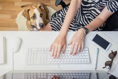 Going to work with pets concept: woman working at desktop computer with dog next to her. Top view of business woman at office. Desk and a staffordshire terrier stock photography