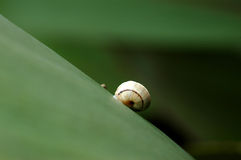 Going up. Close-up of a snail on a leaf Stock Images