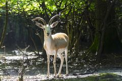 Goitered gazelle buck royalty free stock photography
