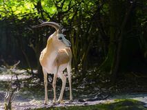 Goitered gazelle buck royalty free stock photo