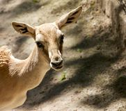 Goitered Gazelle 1. Young goitered gazelle looking suspicious Royalty Free Stock Photography