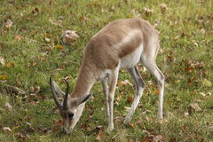 Goitered gazelle Stock Photography