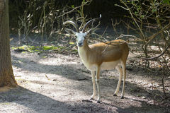 Goitered gazelle (Gazella subgutturosa) stock images