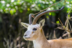 Goitered gazelle (Gazella subgutturosa) stock photo