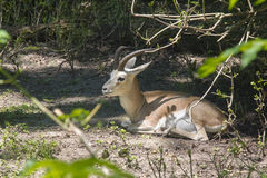Goitered gazelle (Gazella subgutturosa) Royalty Free Stock Photography