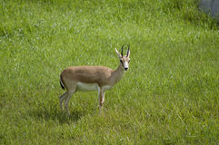 Goitered Gazelle in Habitat. Goitered Gazelle or Gazella subgutturosa animal in grassland habitat stock images