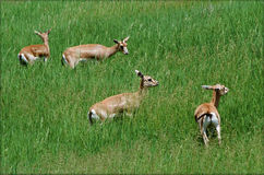 Goitered Gazelles In A Grassy Meadow Royalty Free Stock Images