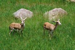 Goitered Gazells placé dans un pré Images libres de droits