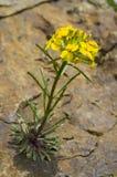 Goivo amarelo selvagem da cascata que cresce fora da rocha foto de stock