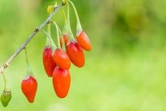 Goji-Beere oder wolfberry Reife Beeren auf dem Zweig Antialternfrucht nahaufnahme stockfotos