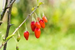 Goji-Beere oder wolfberry reife Beeren auf der Niederlassung Antialternfrucht nahaufnahme stockfotografie