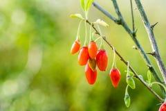Goji-Beere oder wolfberry reife Beeren auf der Niederlassung Antialternfrucht nahaufnahme stockfotos