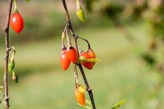 Goji-Beere oder wolfberry reife Beeren auf der Niederlassung nahaufnahme stockbild