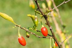 Goji-Beere oder wolfberry reife Beeren auf der Niederlassung nahaufnahme lizenzfreie stockfotos