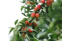 Goji Berries Growing royalty free stock photography