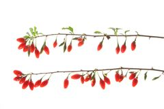 Goji berries (Lycium barbarum) Royalty Free Stock Image
