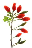 Goji berries (Lycium barbarum) Stock Photography