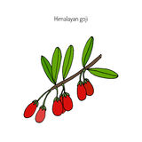 Goji berry branch. Goji berry Lycium barbarum or Chinese wolfberry, Chinese boxthorn, Himalayan goji, Tibetan goji, mede berry, barbary matrimony vine, Duke of Stock Images